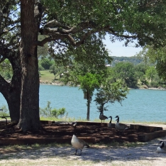 Geese At Boat Ramp